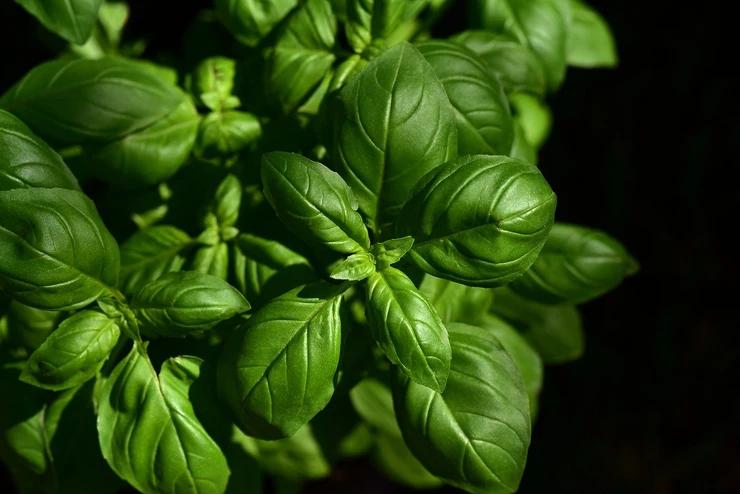 basil-herbal-leaf